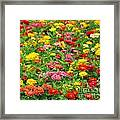 Brightly Colored Marigold Flowers Framed Print