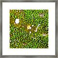 Bumblebee Shrimp On Adhesive Anemone Framed Print