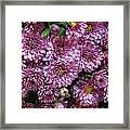 Bunch Of Chrysanths Framed Print