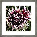 Burgundy And White Dahlia Framed Print