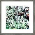 Cedar Draped In Spanish Moss Framed Print