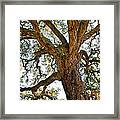 Centenarian Cork Tree Framed Print