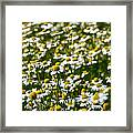 Chamomile Fields Framed Print