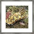 Chromodoris Coi Beige Nudibranch Framed Print