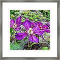 Clematis Abby Aldrich Rockefeller Garden Framed Print