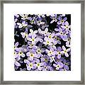 Close-up Of Bluet Flowers Houstonia Framed Print