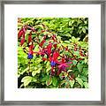 Colorful Fuchsia Framed Print