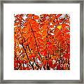 Crepe Myrtle Leaves In Autumn Framed Print