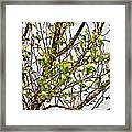 Cucumber Tree Blossoms Framed Print