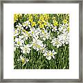 Daffodils (narcissus Sp.) Framed Print