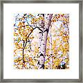 Dancing Birches Framed Print