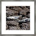 Salton Sea Dead Tilapia Framed Print