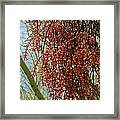 Desert Mistletoe Berries Framed Print