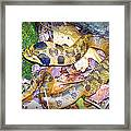 Eastern Hognose Snake Framed Print by Kathy  White