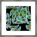 Euglena Rubra Dic Framed Print by M I Walker