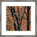 Fall Foliage Of Maple Trees After An Framed Print