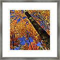 Fall Maple Trees Framed Print by Elena Elisseeva