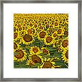Field Of Domestic Sunflowers Framed Print by Kenneth M Highfill and Photo Researchers