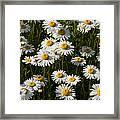 Field Of Oxeye Daisy Wildflowers Framed Print