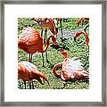 Flamingo Face-off Framed Print