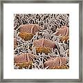 Foetal Inner Ear Hair Cells, Sem Framed Print