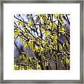 Forsythia 'minigold' Flowers Framed Print