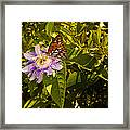 Fritillary On A Passion Flower  Framed Print