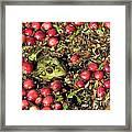 Frog Peaks Up Through Cranberries In Bog Framed Print