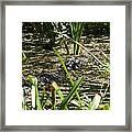 Gator Sunning Framed Print