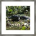 Gator Time Framed Print