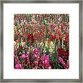 Gladioli Garden In Early Fall Framed Print