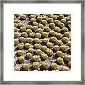Golden Barrel Cactus 1 Framed Print