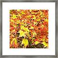Golden Maple Leaves Framed Print
