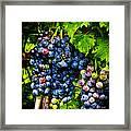Grapes Ready For Harves Framed Print