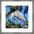 Great Blue Heron Concentration Framed Print