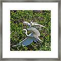 Great Egret In Flight Framed Print