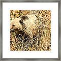 Grizzly In The Brush Framed Print