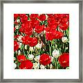 Groundhog Day - A Curious Marmot Peeking Through Luminous Red And White Spring Tulips On A Sunny Day Framed Print by Chantal PhotoPix