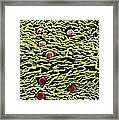 Hairs And Glands On Thyme Framed Print