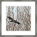 Immature Bald Eagle Flying Framed Print