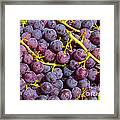 Italian Red Grape Bunch Framed Print