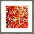 Japanese Maple Leaves 12 In The Fall Framed Print
