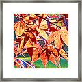 Japanese Maple Leaves 6 In The Fall Framed Print