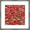 Japanese Red Maple Leaves Framed Print