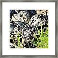Killdeer Eggs Framed Print by Lynda Dawson-Youngclaus