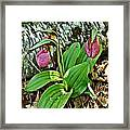 Lady Slipper I Framed Print