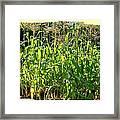 Lake Country Corn Framed Print