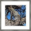 Lounging Leopard Namibia Framed Print by David Kleinsasser