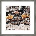 Lunate Zale Moth Framed Print