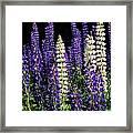 Lupine Flowers Framed Print